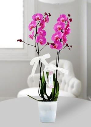 Çift dallı mor orkide  Adana çiçekçiler