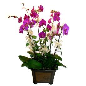 Adana cicek , cicekci  4 adet orkide çiçegi