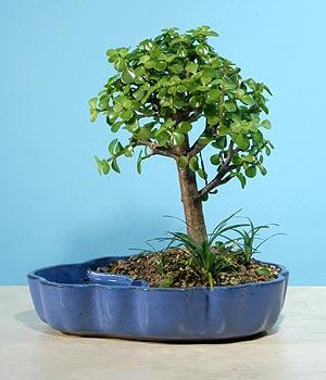 ithal bonsai saksi çiçegi  Adana çiçekçiler