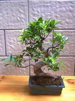 ithal bonsai saksi çiçegi  Adana hediye sevgilime hediye çiçek