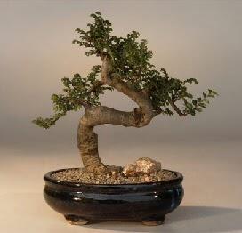 ithal bonsai saksi çiçegi  Adana 14 şubat sevgililer günü çiçek