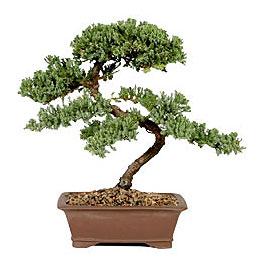 ithal bonsai saksi çiçegi  Adana çiçek yolla çiçek gönderme sitemiz güvenlidir