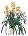 Adana çiçekçiler  Orchiede ithal büyük boy saksi