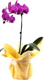 Adana çiçek siparişi sitesi  Tek dal mor orkide saksı çiçeği