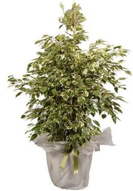 Orta boy alaca benjamin bitkisi  Adana internetten çiçek satışı