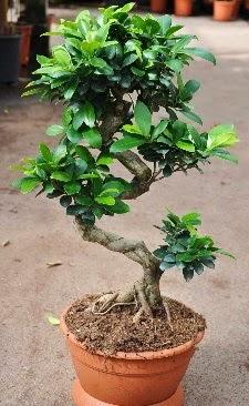 Orta boy bonsai saksı bitkisi  Adana internetten çiçek siparişi