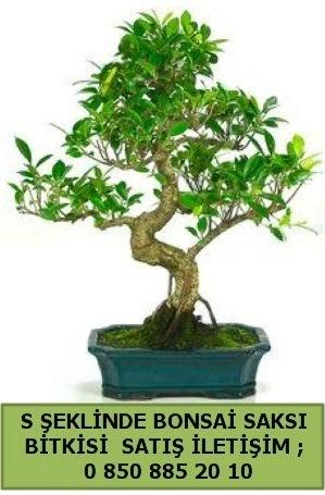 İthal S şeklinde dal eğriliği bonsai satışı  Adana çiçek siparişi çiçek gönderme