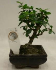 Küçük minyatür bonsai japon ağacı  Adana çiçek siparişi çiçek gönderme