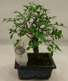 Minyatür ithal japon ağacı bonsai bitkisi  Adana ucuz çiçekçi çiçek satışı