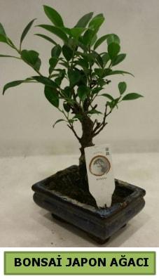 Bonsai japon ağacı saksı bitkisi  Adana çiçek servisi , çiçekçi adresleri