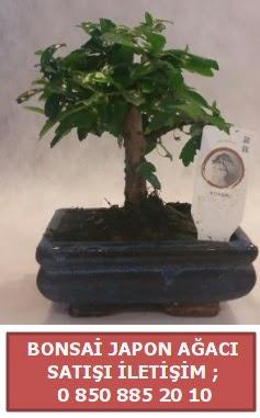 Japon ağacı minyaür bonsai satışı  Adana ucuz çiçekçi çiçek satışı