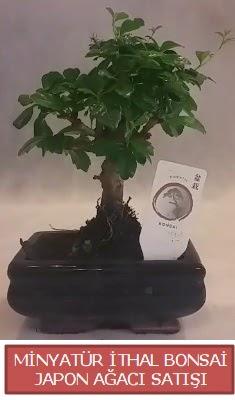 Küçük görsel bonsai japon ağacı bitkisi  Adana çiçekçiler çiçek , çiçekçi , çiçekçilik