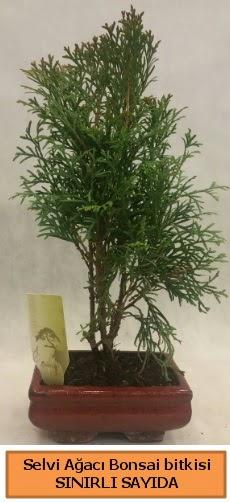 Selvi ağacı bonsai japon ağacı bitkisi  Adana ucuz çiçekçi çiçek satışı