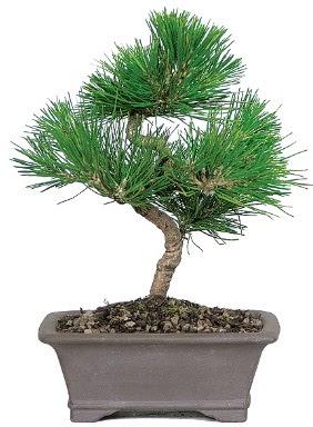 Çam ağacı bonsai japon ağacı bitkisi  Adana çiçek siparişi çiçek gönderme
