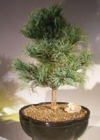 Çam ağacı bonsai bitkisi satışı  Adanaya çiçek ucuz çiçek gönder