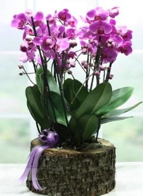 Kütük içerisinde 6 dallı mor orkide  Adanaya çiçek ucuz çiçek gönder