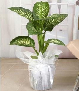 Tropik saksı çiçeği bitkisi  Adana ucuz çiçekçi çiçek satışı