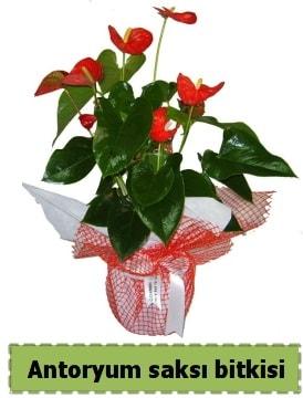 Antoryum saksı bitkisi satışı  Adana çiçekçiler çiçek , çiçekçi , çiçekçilik