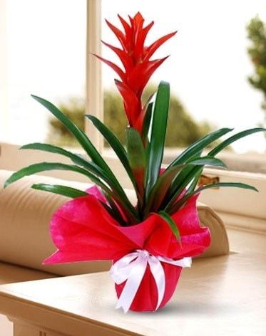 Guzmanya Saksı Çiçeği  Adana çiçek satışı çiçek yolla