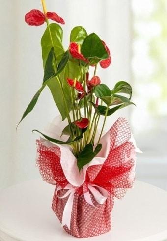 Anthurium Saksı Çiçeği  Adanada çiçekçiler hediye çiçek yolla