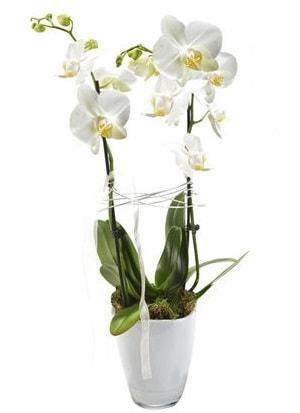 2 dallı beyaz seramik beyaz orkide saksısı  Adana çiçek yolla çiçek gönderme sitemiz güvenlidir
