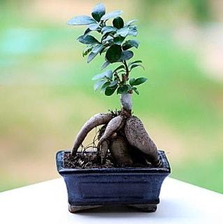 Marvellous Ficus Microcarpa ginseng bonsai  Adana çiçek siparişi vermek