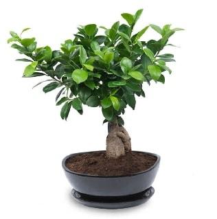 Ginseng bonsai ağacı özel ithal ürün  Adana internetten çiçek satışı