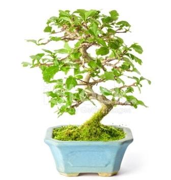 S zerkova bonsai kısa süreliğine  Adana çiçekçi İnternetten çiçek siparişi