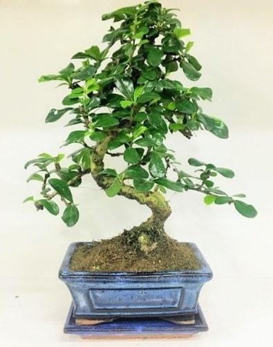 S Bonsai japon ağacı bitkisi  Adana uluslararası çiçek gönderme