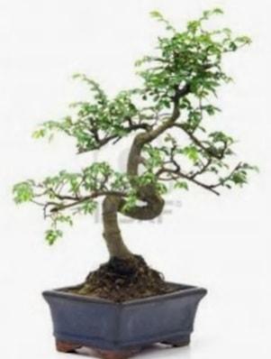 S gövde bonsai minyatür ağaç japon ağacı  Adana ucuz çiçekçi çiçek satışı
