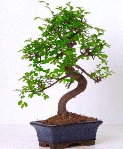 S gövdeli bonsai minyatür ağaç japon ağacı  Adana çiçek yolla çiçek gönderme sitemiz güvenlidir