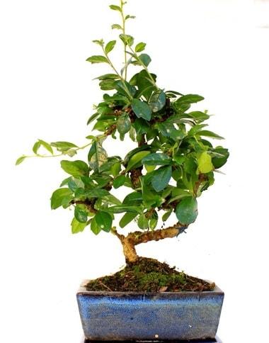 S gövdeli carmina bonsai ağacı  Adana çiçek satışı çiçek yolla  Minyatür ağaç
