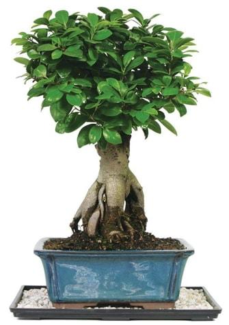 Bonsai Ginsing Grafted Ficus Bonsai  Adana çiçek satışı çiçek yolla
