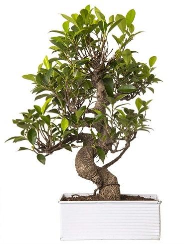 Exotic Green S Gövde 6 Year Ficus Bonsai  Adana çiçek yolla çiçek gönderme sitemiz güvenlidir